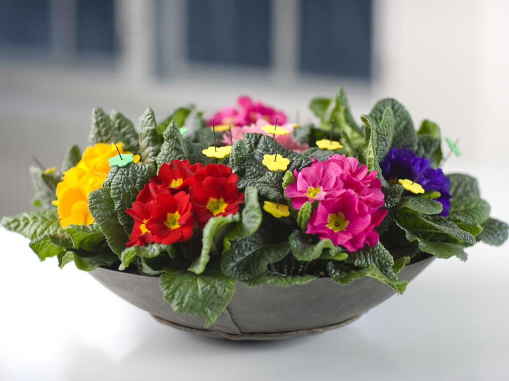 Primula - Flori si plante la ghiveci