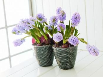 Zambile - Flori si plante la ghiveci