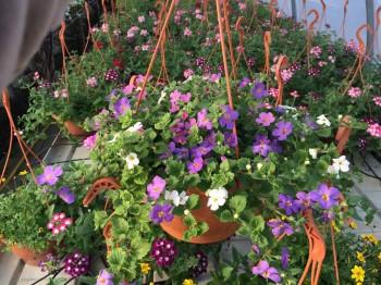 Bacopa - Flori si plante la ghiveci