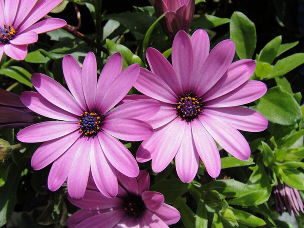 Osteospermum - Flori si plante la ghiveci