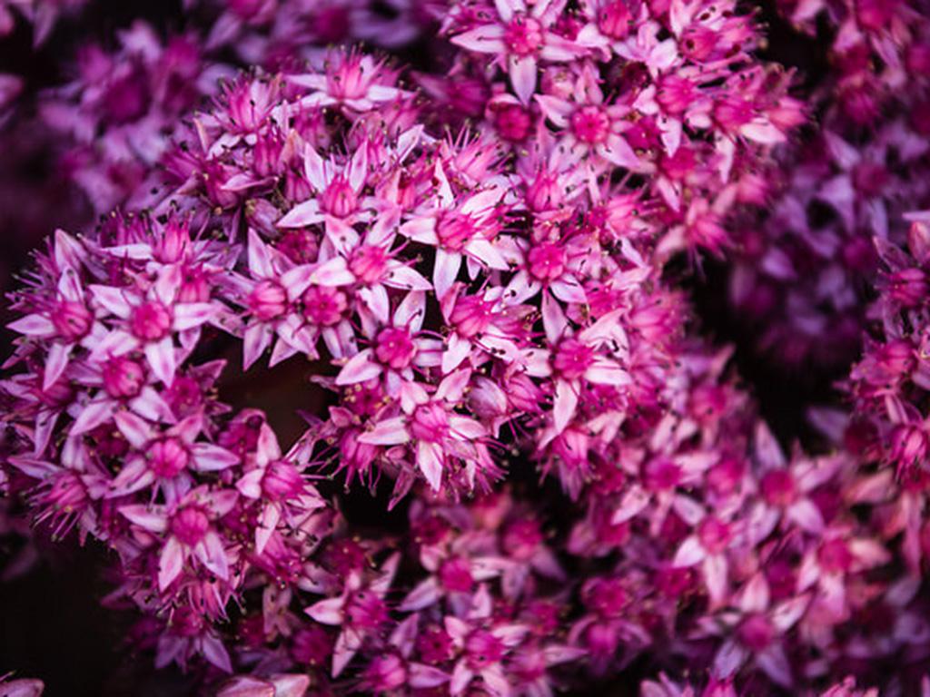 Sedum - Flori si plante la ghiveci