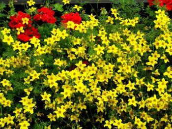 Bidens - Flori si plante la ghiveci