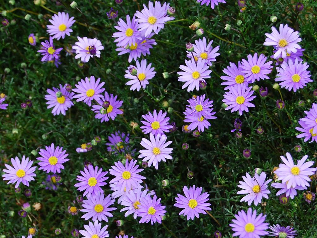 Brachyscome - Flori si plante la ghiveci