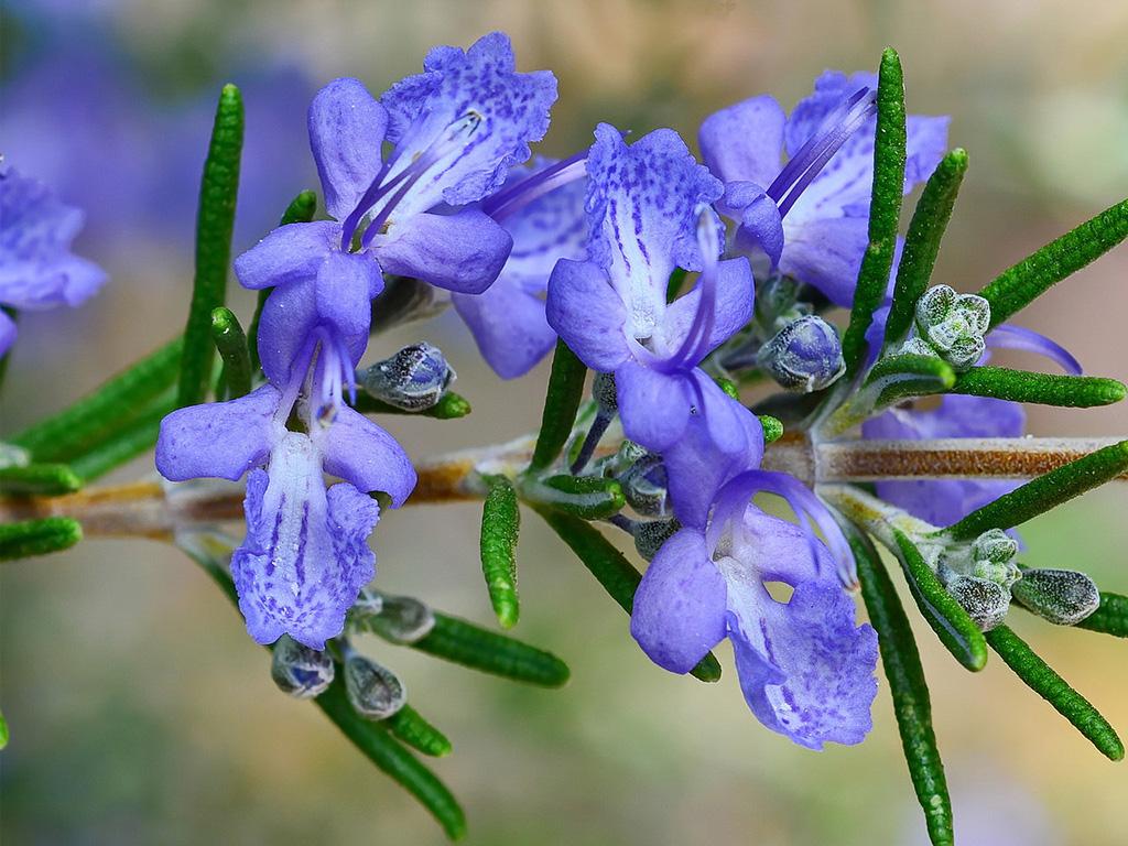 Rozmarin - Flori si plante la ghiveci