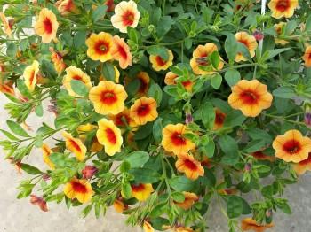 Calibrachoa - Flori si plante la ghiveci