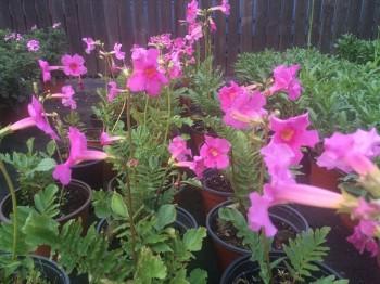Incarvillea - Flori si plante la ghiveci