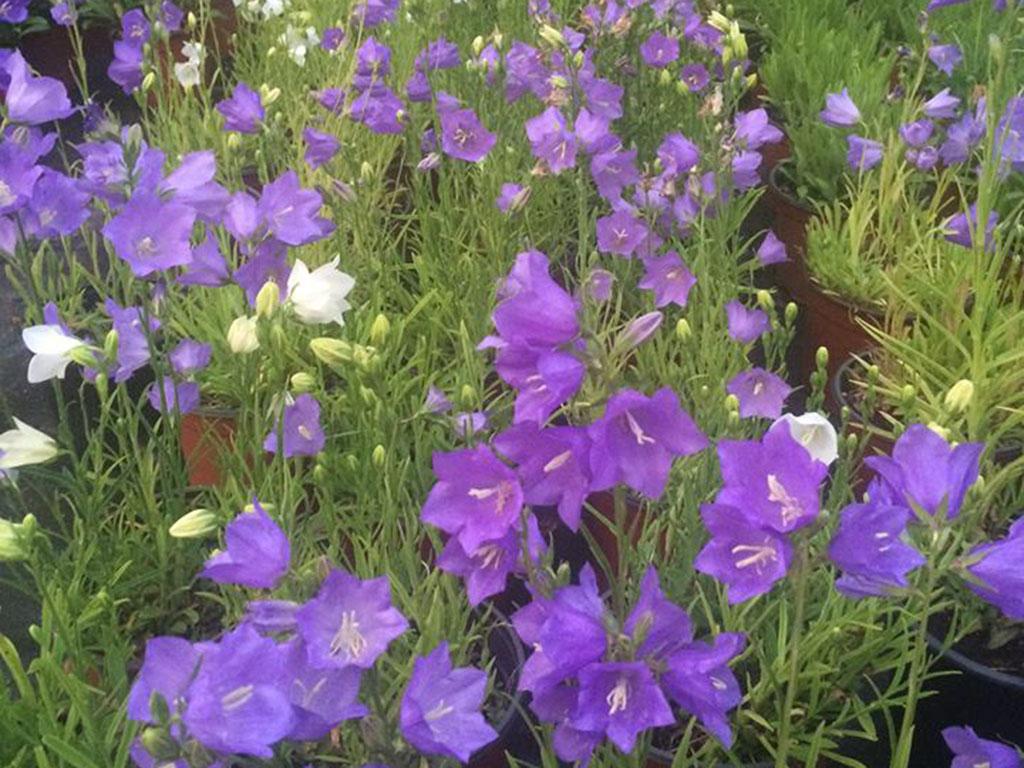 Campanula - Flori si plante la ghiveci