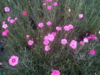 Garofite - Flori si plante la ghiveci