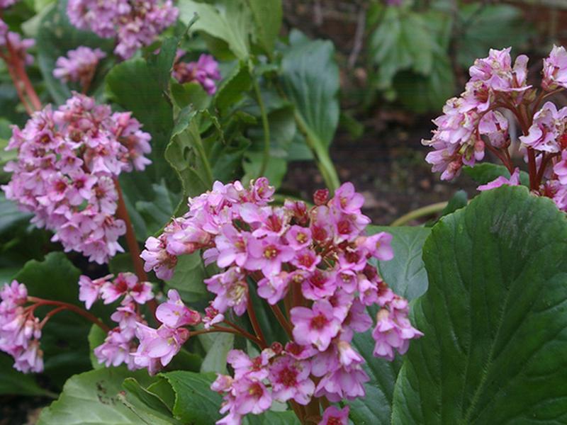 Bergenia - Flori si plante la ghiveci