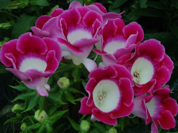 Gloxinia - Flori si plante la ghiveci