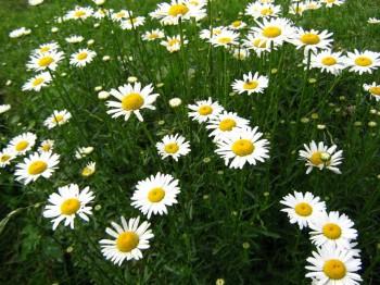 Margarete - Flori si plante la ghiveci