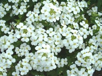 Arabis - Flori si plante la ghiveci