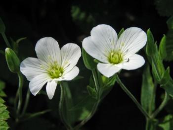 Arenaria - Flori si plante la ghiveci