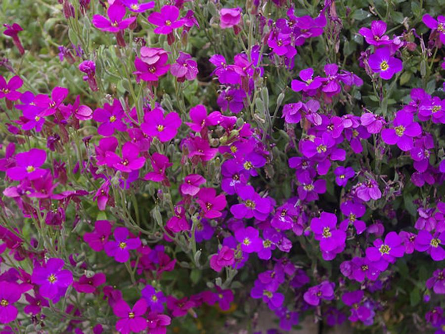 Aubrieta - Flori si plante la ghiveci