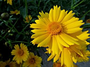 Coreopsis - Flori si plante la ghiveci