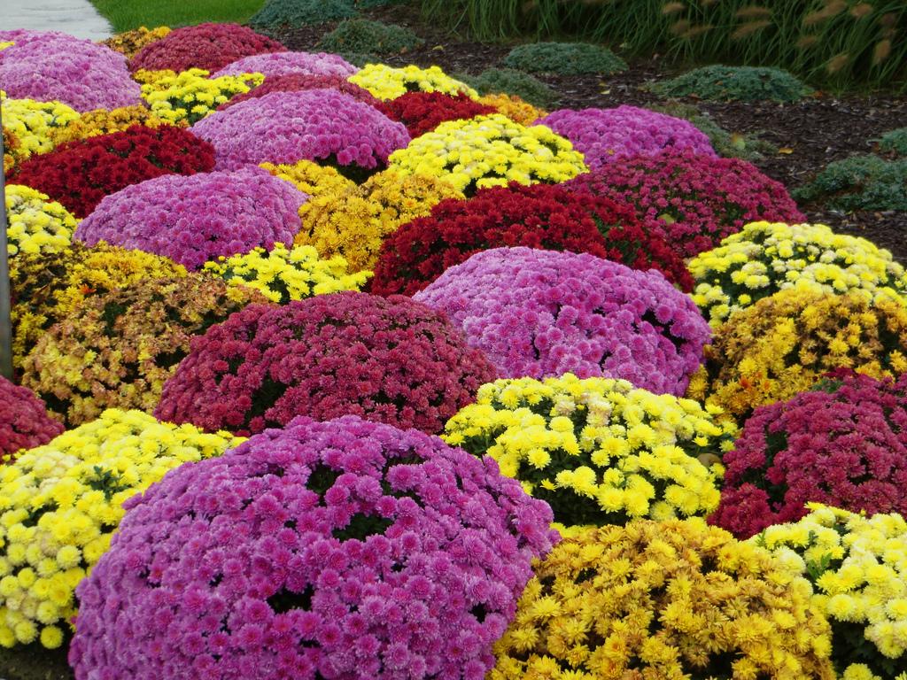 Crizanteme - Flori si plante la ghiveci