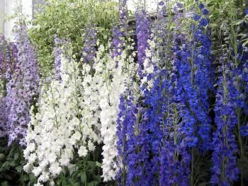Delphinium - Flori si plante la ghiveci