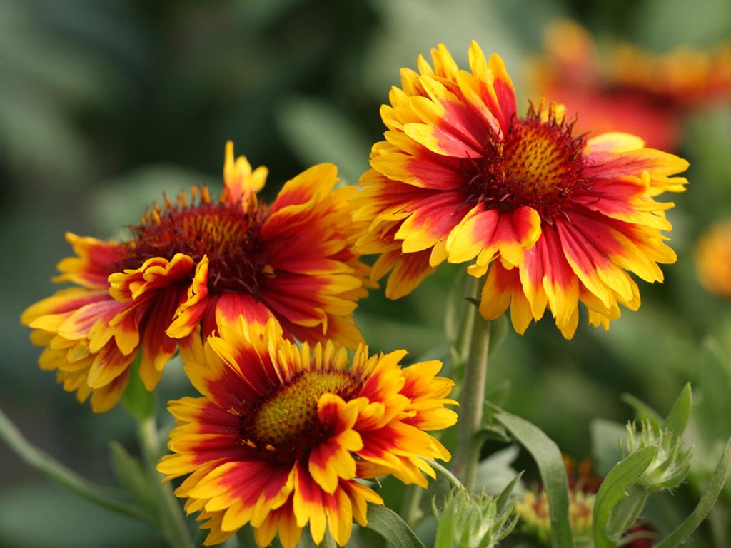 Gaillardia - Flori si plante la ghiveci