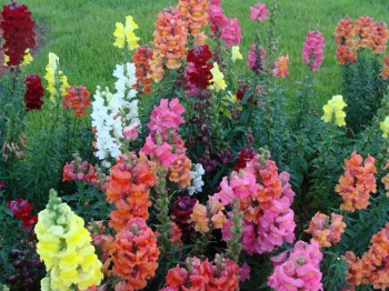 Anthirinum - Flori si plante la ghiveci