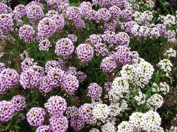 Lobularia - Flori si plante la ghiveci