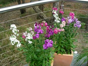Mathiola - Flori si plante la ghiveci