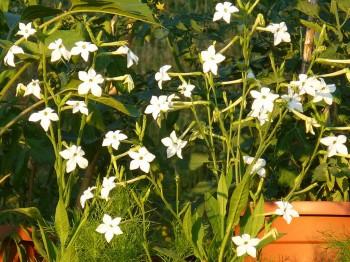 Nicotiana - Flori si plante la ghiveci