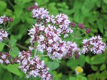 Oregano - Flori si plante la ghiveci