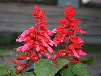 Salvia - Flori si plante la ghiveci