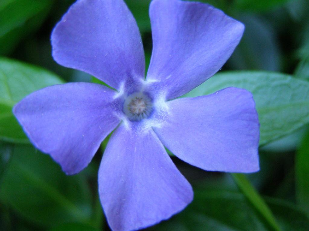 vinca minor - Flori si plante la ghiveci