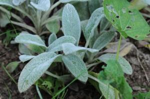 salvie - Climatul si microclimatul definesc speciile de plante pe care le putem folosi