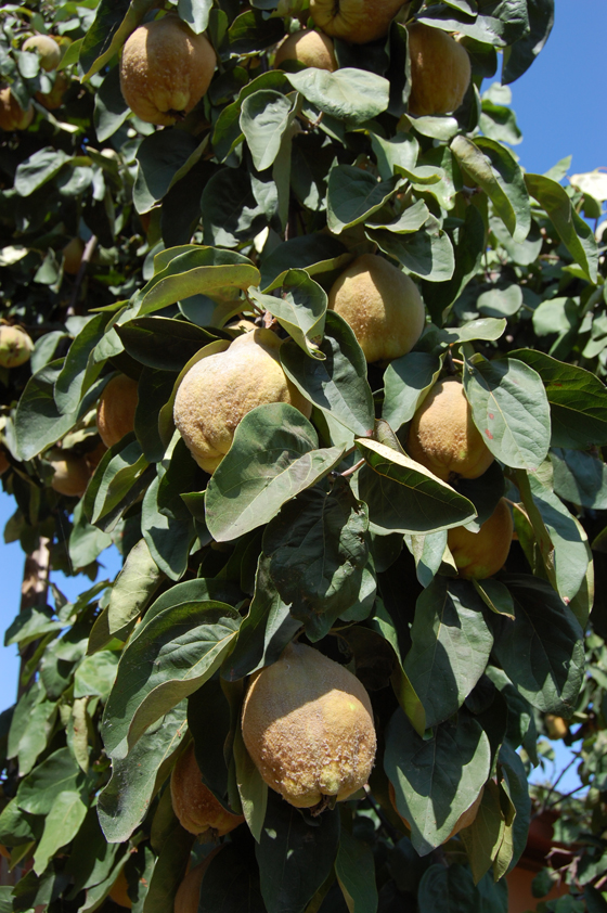 gutui - Cea mai utila gradina: fructe sau legume pentru intreaga familie