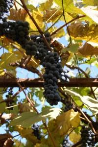 struguri - Cea mai utila gradina: fructe sau legume pentru intreaga familie