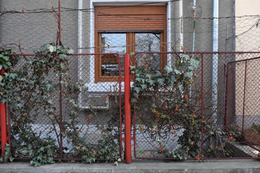 Gard cu iedera - Iedera imbraca frumos un gard de sarma sau plasa dar cresterea dureaza