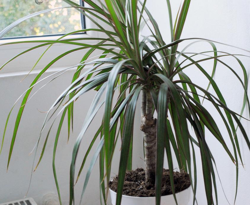 Dracena, micul palmier din casa (foto Alina Miron) - Dracaena, micul palmier din casa