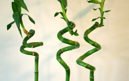 Dracaena sanderiana, supranumita bambusul norocos (foto liningthecloudswithsilver.blogspot.com) - Dracaena sanderiana, supranumita bambusul norocos