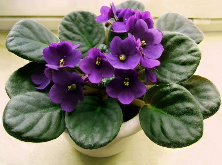 Violeta africana - Violeta africana face flori aproape tot anul