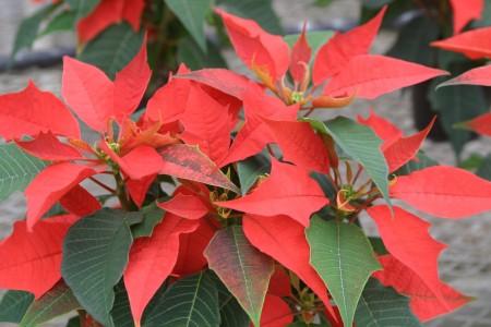 Craciunita sau Steaua Craciunului este o varietate de Euphorbia - Craciunita sau Steaua Craciunului este o varietate de Euphorbia