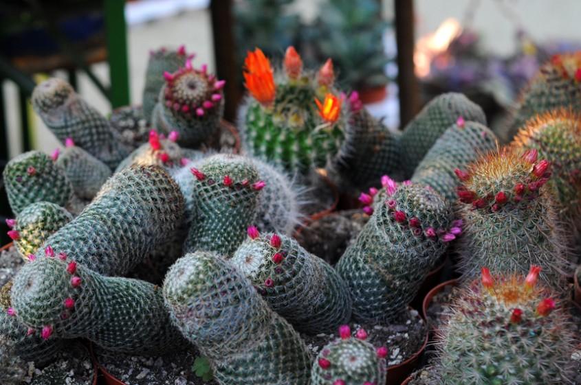 Cactusii sunt celebri pentru rezistenta la lipsa de apa foto Alina Miron - Cactusii sunt celebri