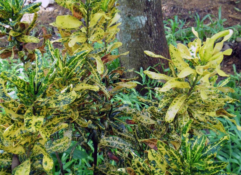 Frunzele patate in diverse culori ale crotonului il fac foarte decorativ foto public-domain-photos org - Frunzele