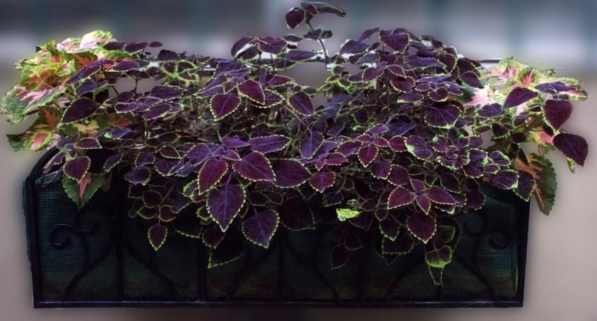 Coleus <p>Coleus, denumita popular urzicuta decorativa, isi are originea in Indonezia, fiind, cu frunzele sale disponibile intr-o multitudine de culori si de forme, o planta deosebit de vesela. Tineti-o insa departe de animale, deoarece planta poate fi otravitoare pentru ele.</p>