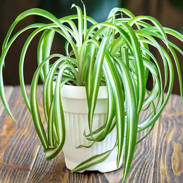 <b>7. Planta paianjen (<i>Chlorophytum comosum</i>)</b>