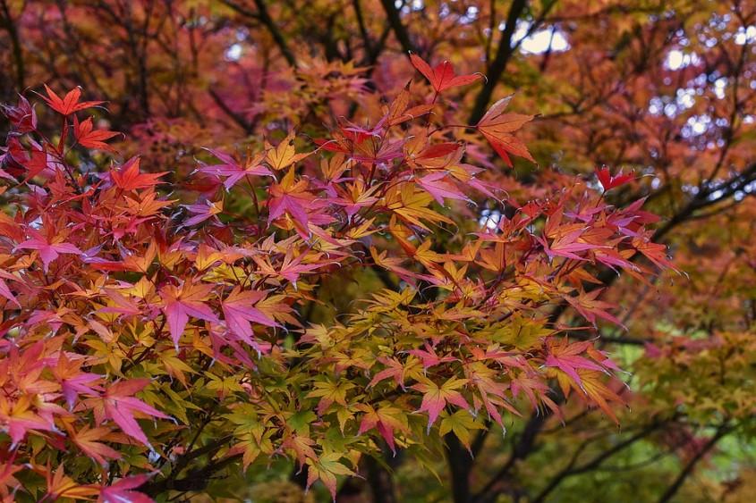 Artarul japonez (<i>Acer palmatum</i>)