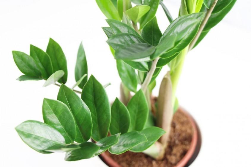 <b>9. <i>Zamioculcas zamiifolia</i></b>