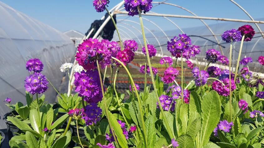 Plante superbe pentru grădini de la Biosolaris Producător de Plante