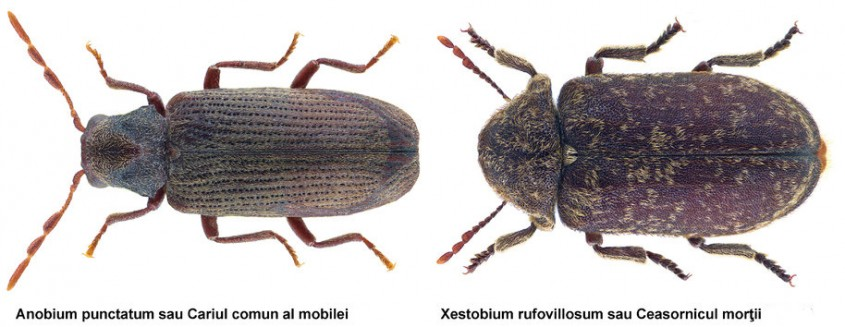 Dăunătorii lemnului - insectele xilofage