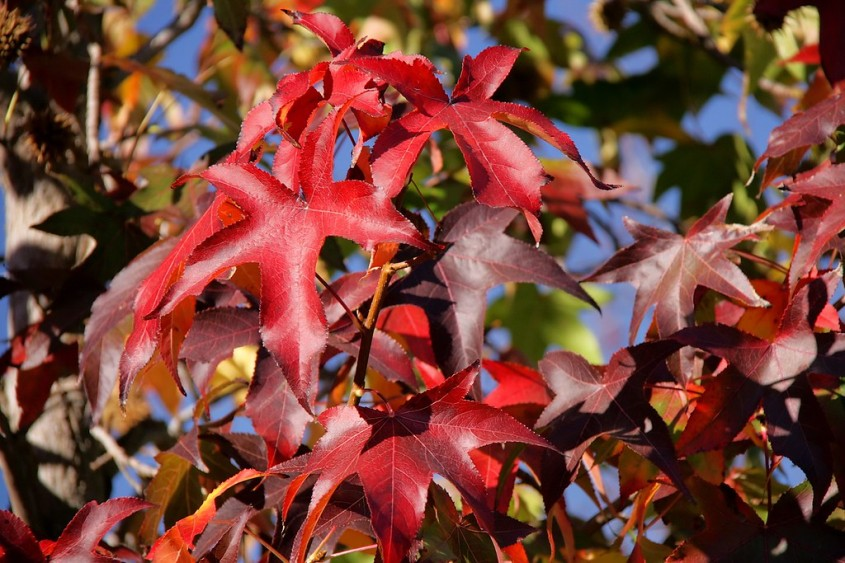 Arborele de guma (<i>Liquidambar styraciflua</i>)