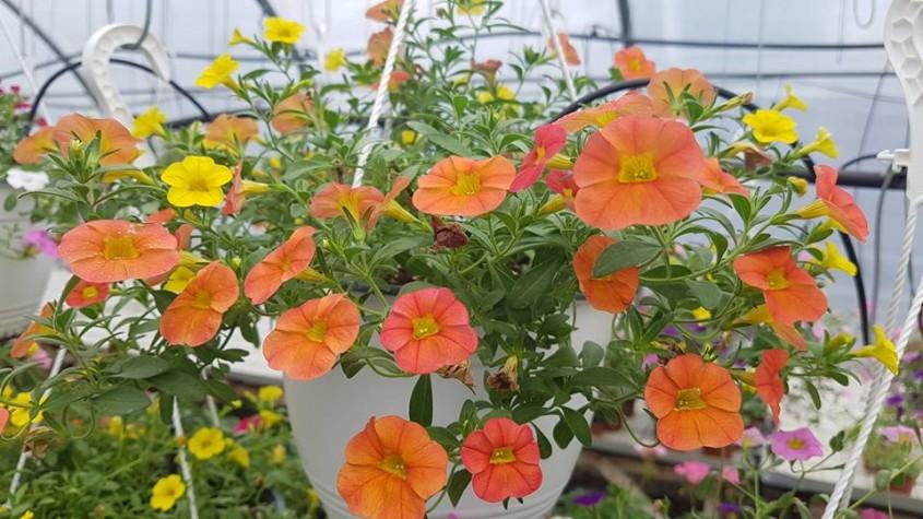Petunii, Calibrachoa și alte plante de sezon de la Biosolaris Producător de Plante