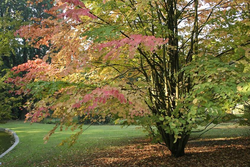 Arborele Katsura (<i>Cercidiphyllum japonicum</i>)