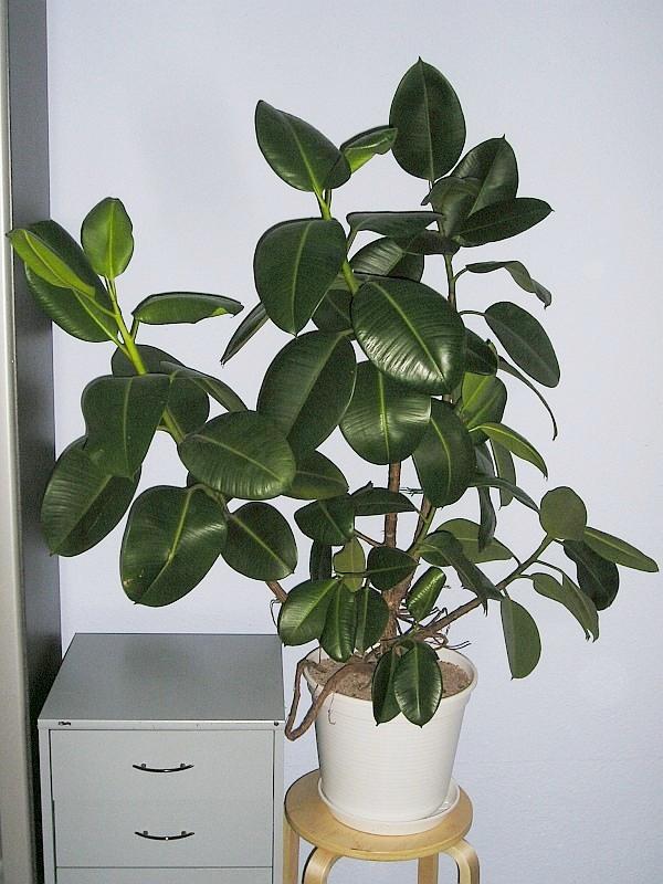 <b>2. Ficusul de cauciuc (<i>Ficus elastica</i>)</b>