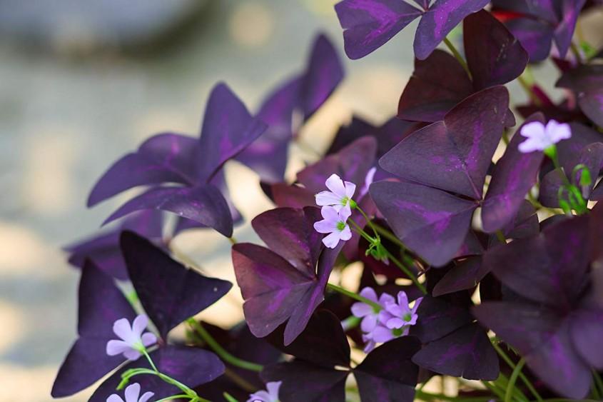 Oxalis triangularis <p>Oxalis triangularis, cunoscuta si ca Floarea dragostei, Trifoiul mov sau Trifoiul fals, este o planta perena originara din Brazilia cu frunze de culoarea prunei si cu flori albe sau roz, potrivita pentru<span>jardiniere sau ghivece suspendate.</span>Infloreste de la inceputul primaverii pana-n toamna si poate atinge 15-30 centimetri inaltime. Planta este toxica pentru animalele de companie, insa frunzele sale sunt suficient de amare pentru a descuraja eventualele tentative de ospatare.</p>